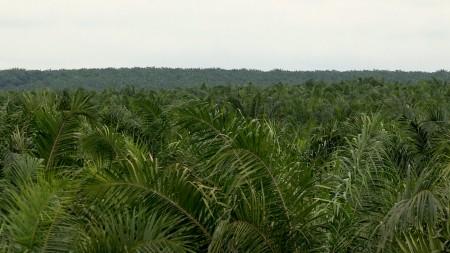 Palme – Une huile qui fait tache