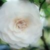 Camélia – Les secrets d'une beauté légendaire